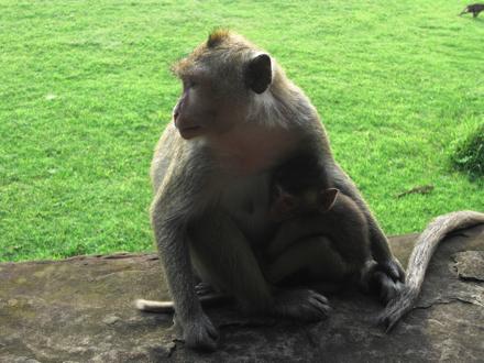 アンコール・ワットの猿