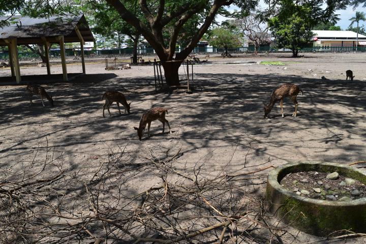 プランバナンの鹿